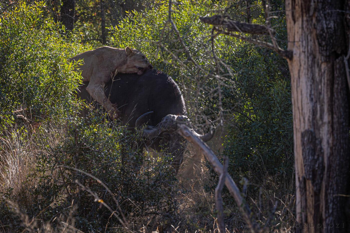Nkuhuma Lioness On Buffalo (2)