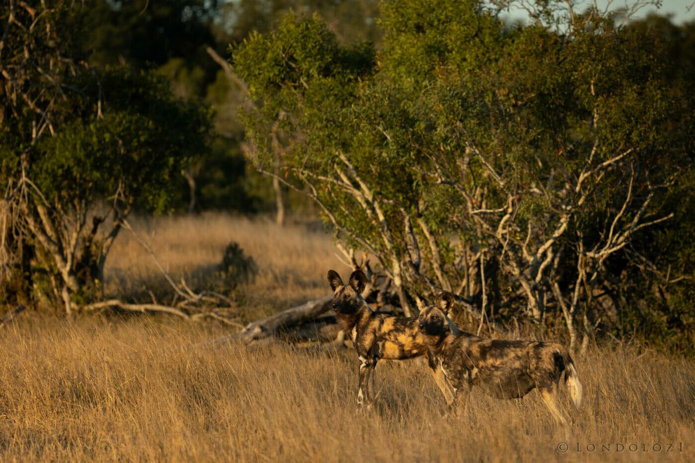 Wild dog Alpha Female Pregnant