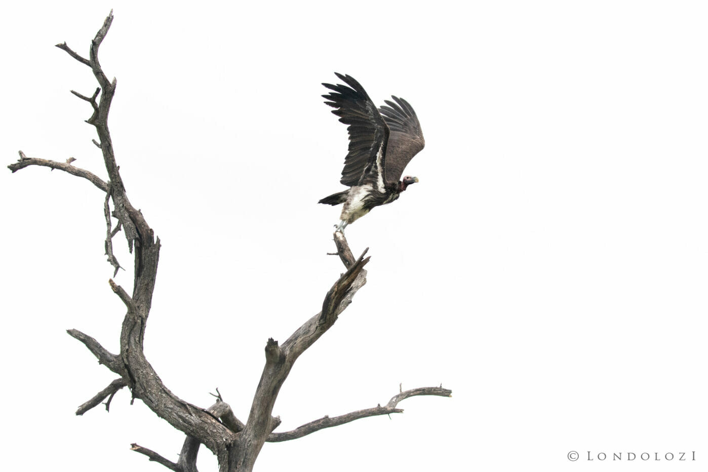 CT Lappet Faced Vulture Take Off