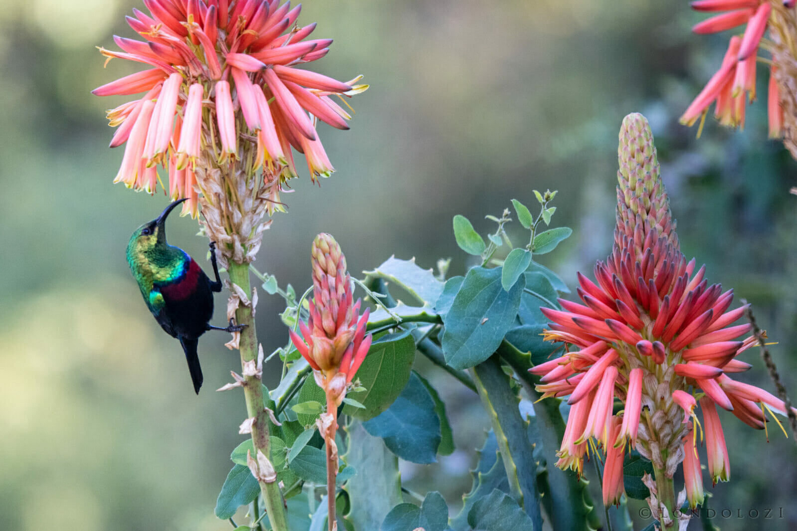 CT Marico Sunbird Aloe