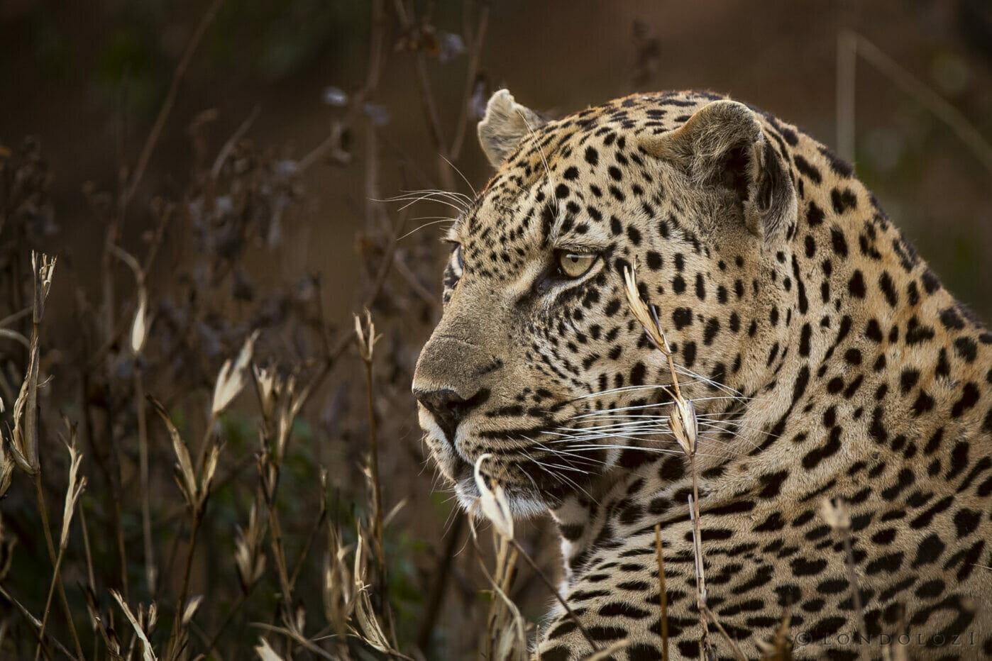 Sdz Mawelawela Male Leopard Golden Profile