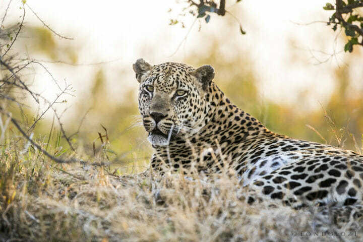 Sdz Mawelawela Male Leopard Mound