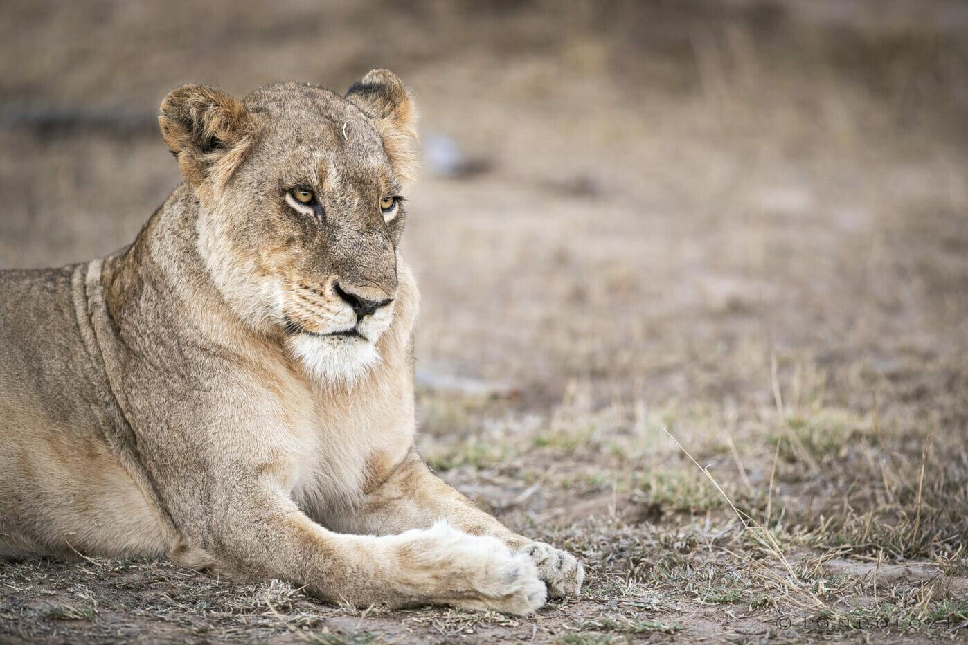 Sdz Ntsevu Lioness Evening