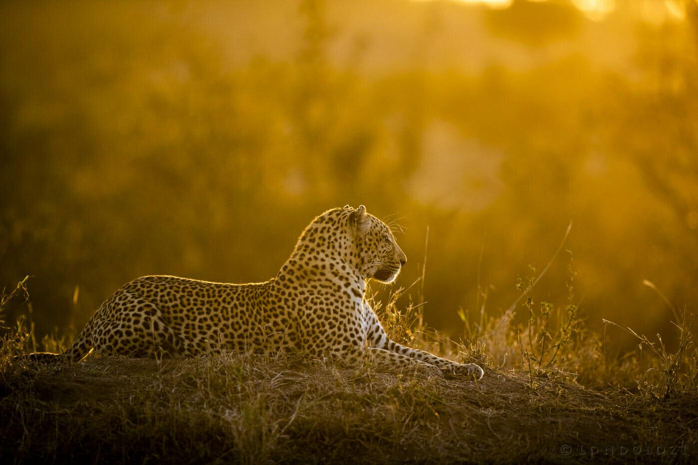 Sdz Senegal Bush Male Leopard Gold Light Termite Mound