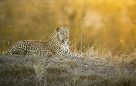 Sdz Senegal Bush Male Leopard Golden Light Termite Mound