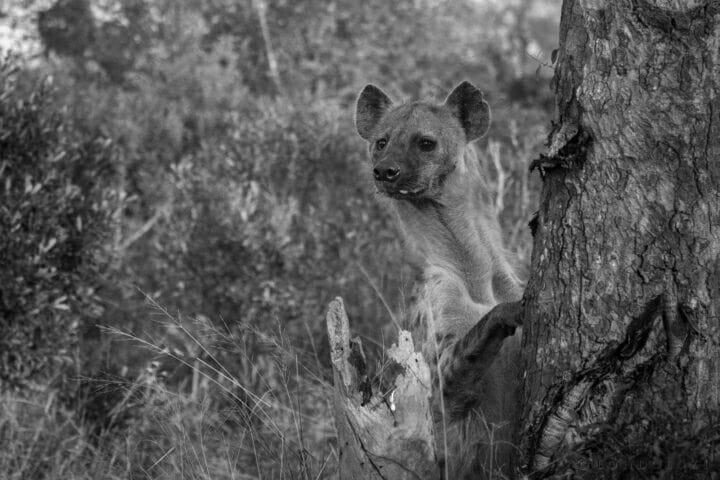 Hyena Perched Dean De La Rey Dlr 07:21