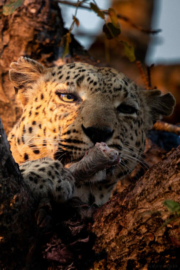 Senegal Bush Mal Leopard Kill Dean De La Rey Dlr 07:21