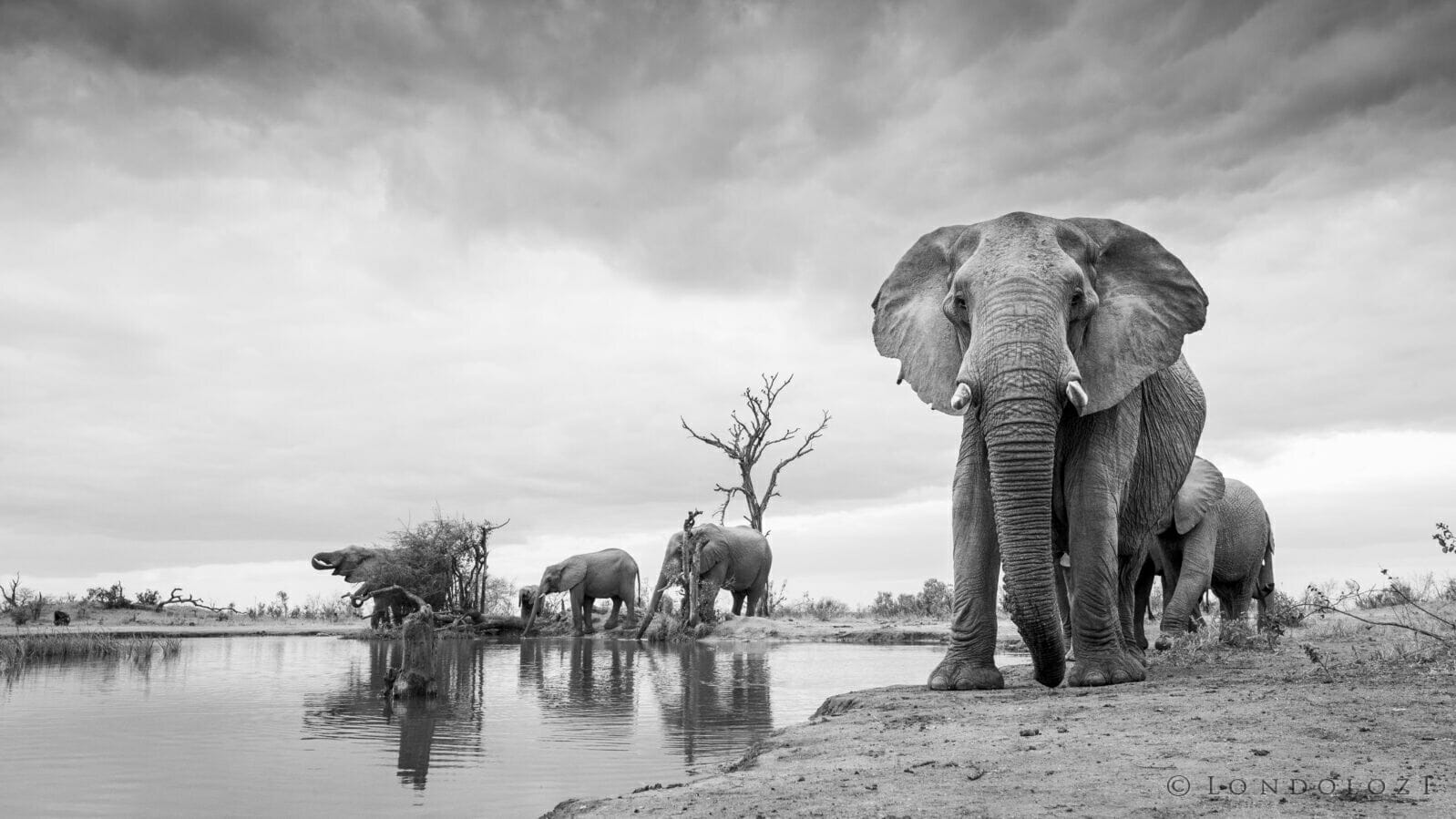 Elephant Drink Black And White Jt