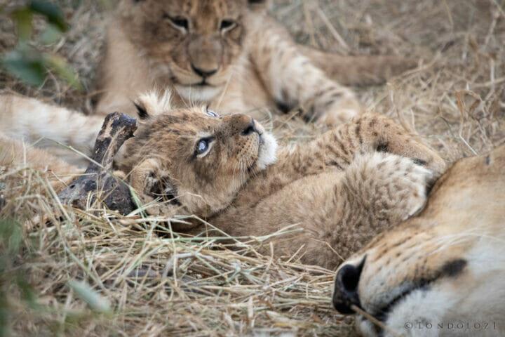 Ns Ntsevu Lion Cub May 2021