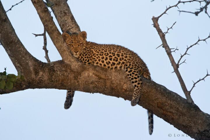Cub Tree Stare KNG
