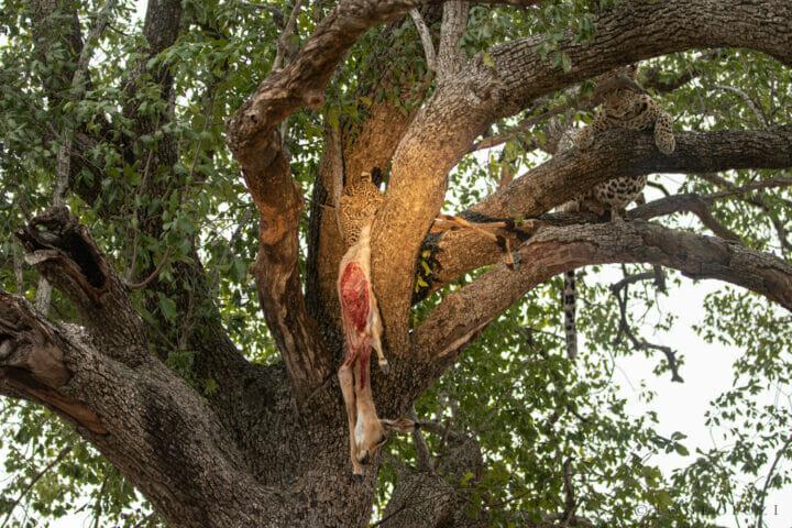 Nkoveni Cub Feed Kill Tree