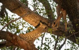Nkoveni Cub Kill Reach Kng