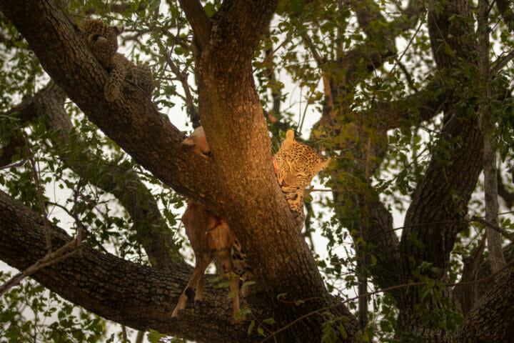 Nkoveni Feed Cub Tree