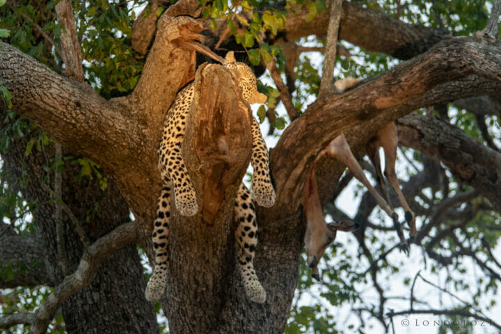 Nkoveni Tree Kng