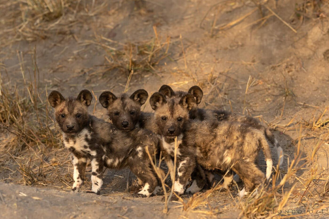 GB-wilddog pups lined up