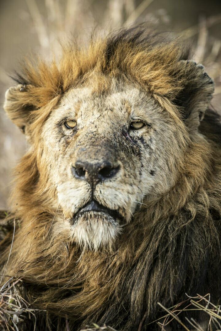 SZ Birmingham Male Lion portrait