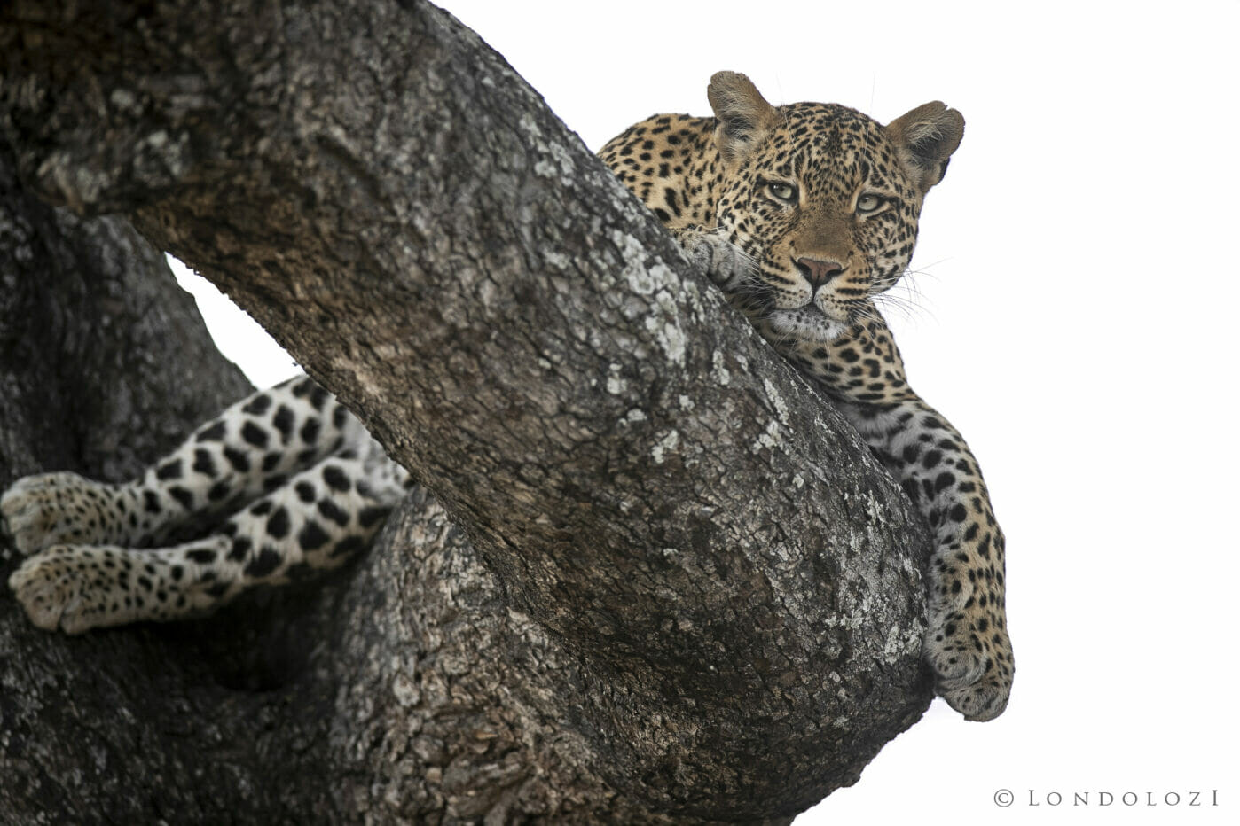 SDZ Picadilly Female leopard in Jackalberry resting