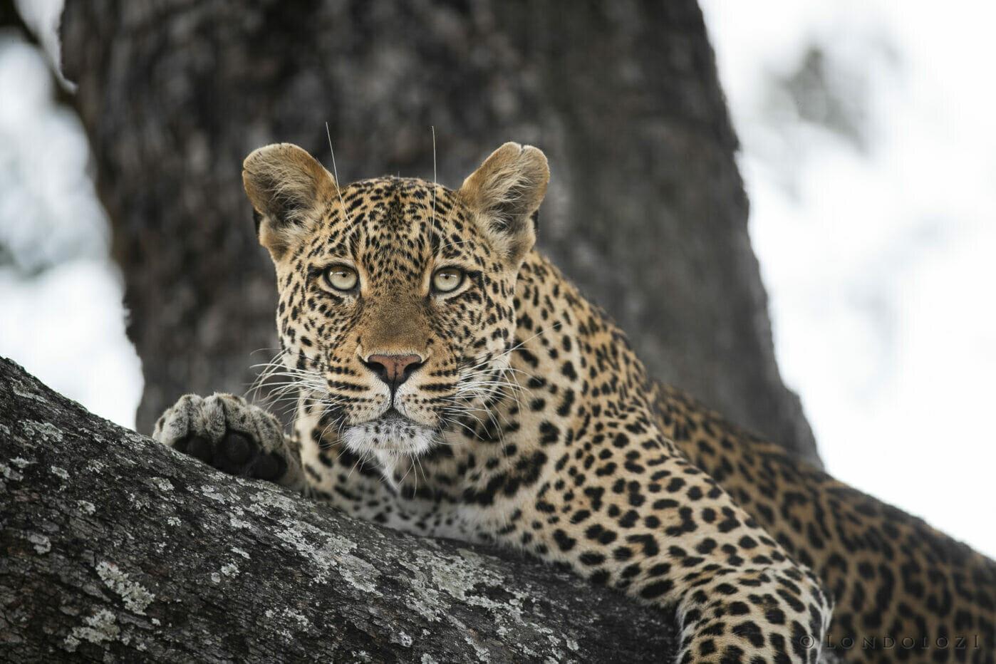 SDZ Picadilly female leopard in jackalberry