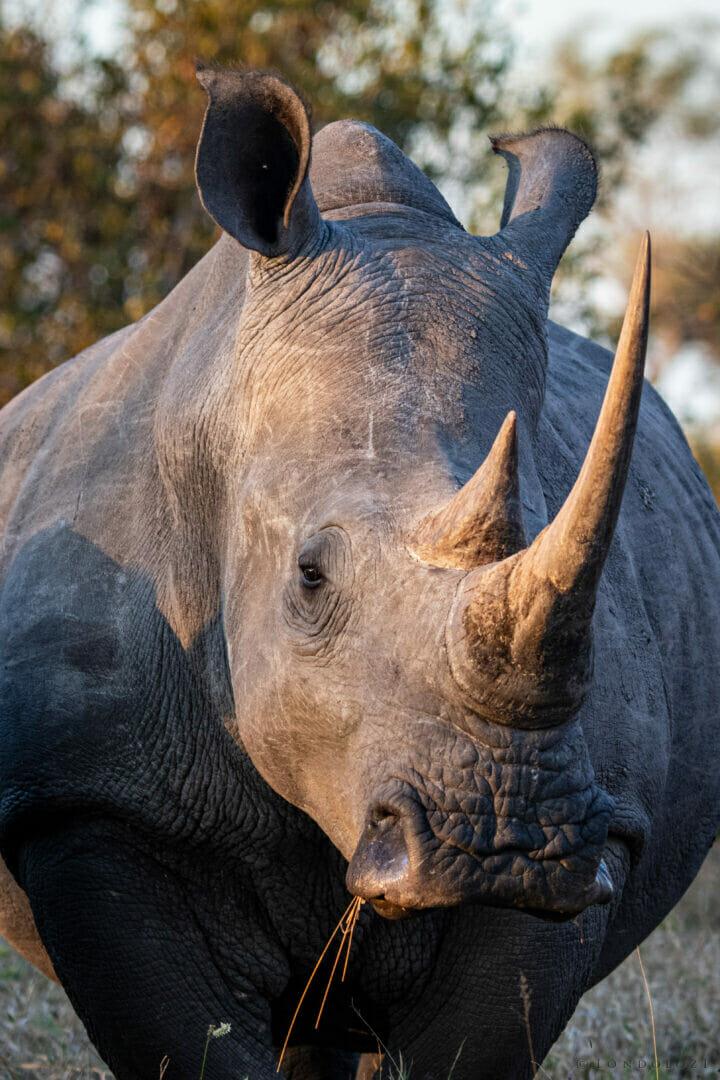 CT Rhino Portrait