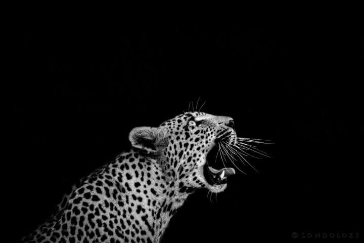CT Xinzele Female Leopard Mono