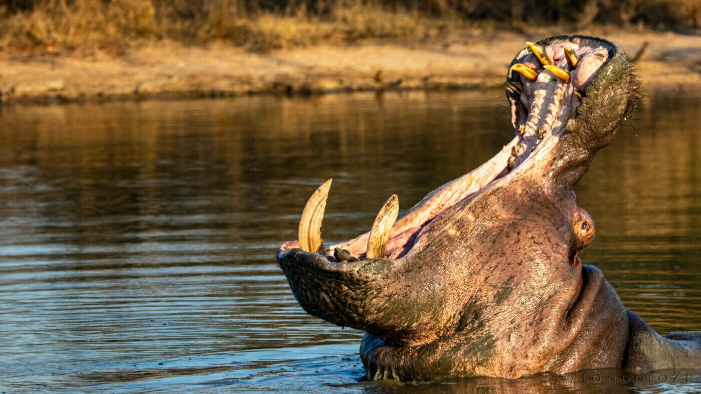 CT Hippo Yawn