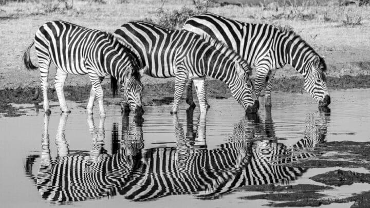 CT Zebra Drinking Reflection