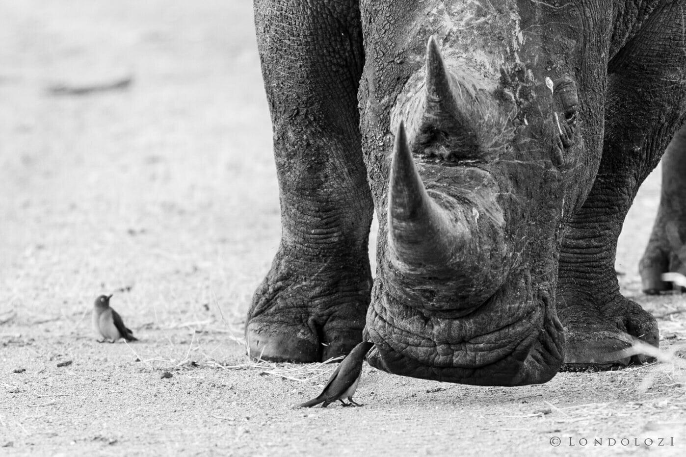 Gb Rhino and oxpecker