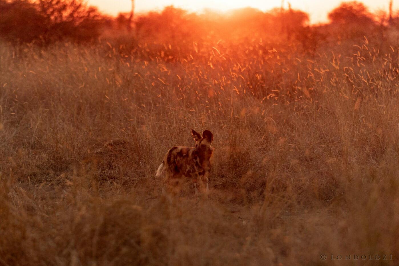 Gb Wilddog Sunset