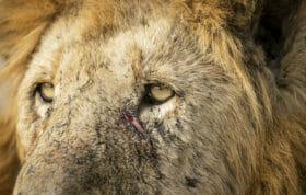 Sdz Male Lion Birmingham Male Close Eyes And Scar