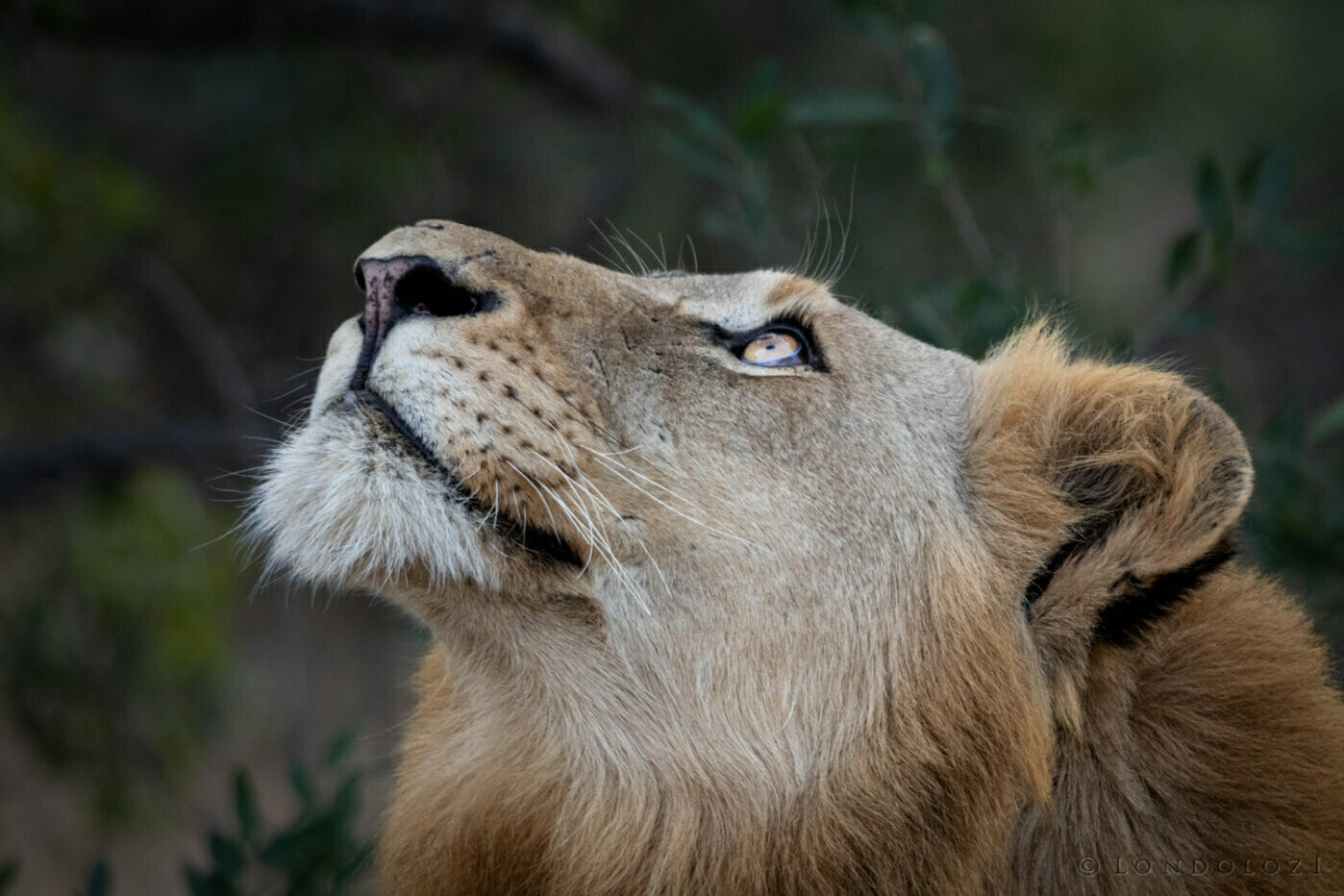 Ns Plains Camp Male Lion Looking Up