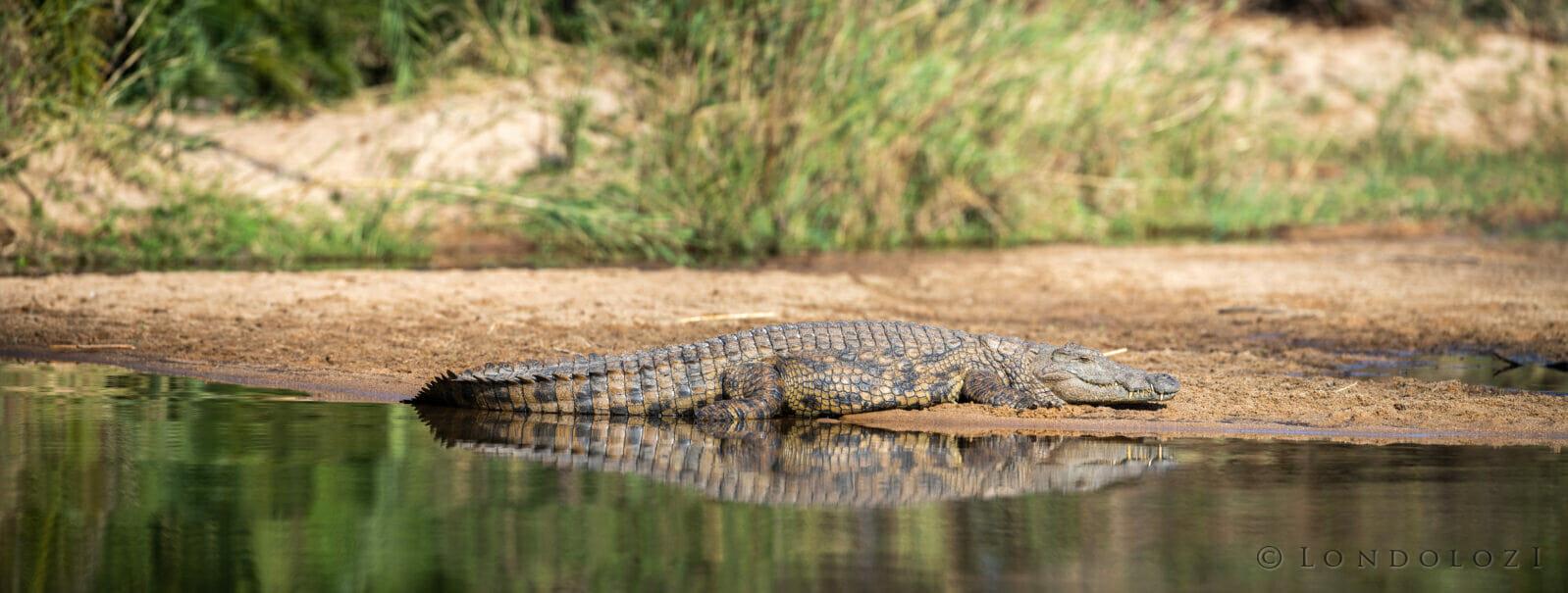 Jts Crocodile Sun Bathing