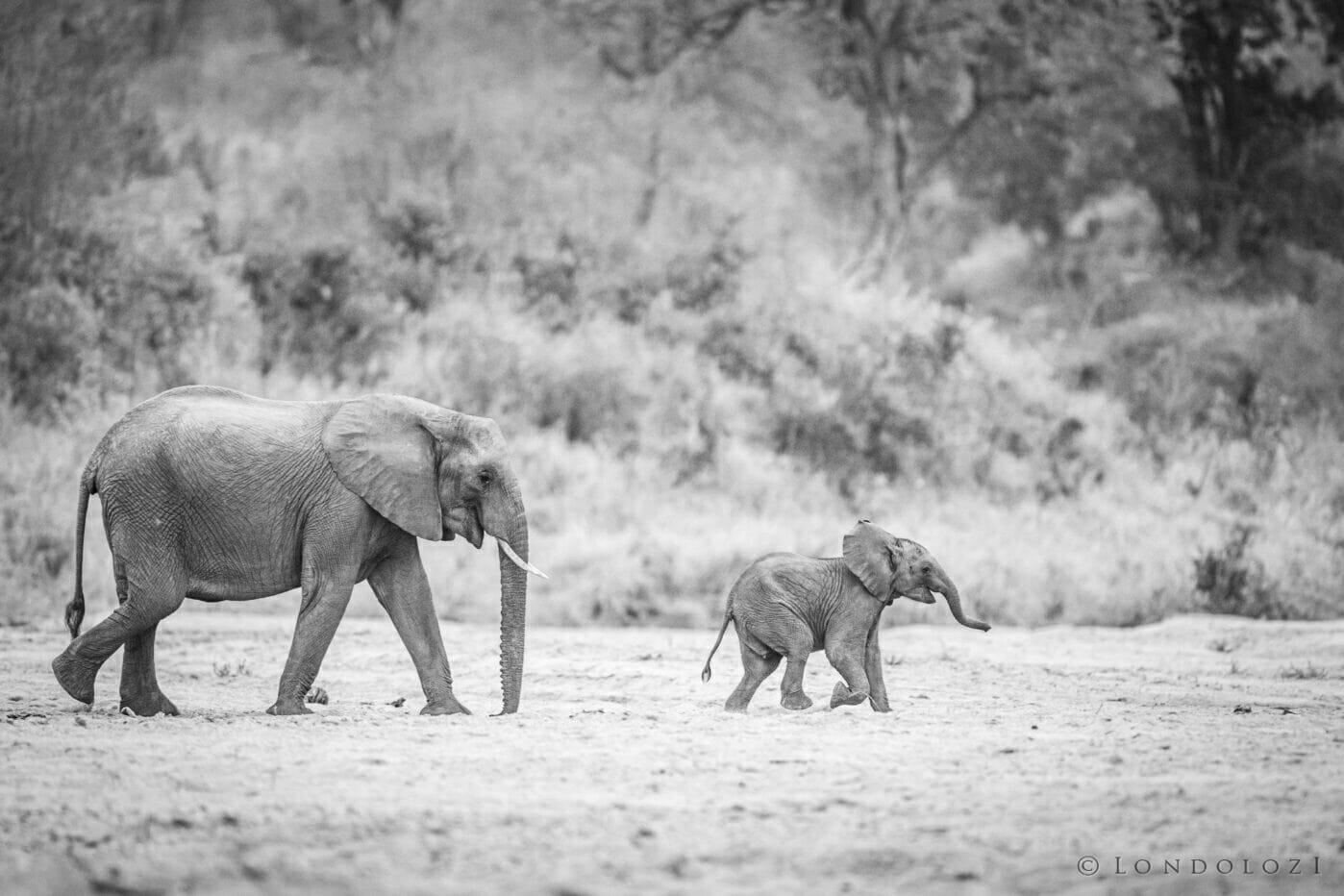 Jts Elephant Cow&calf B&w