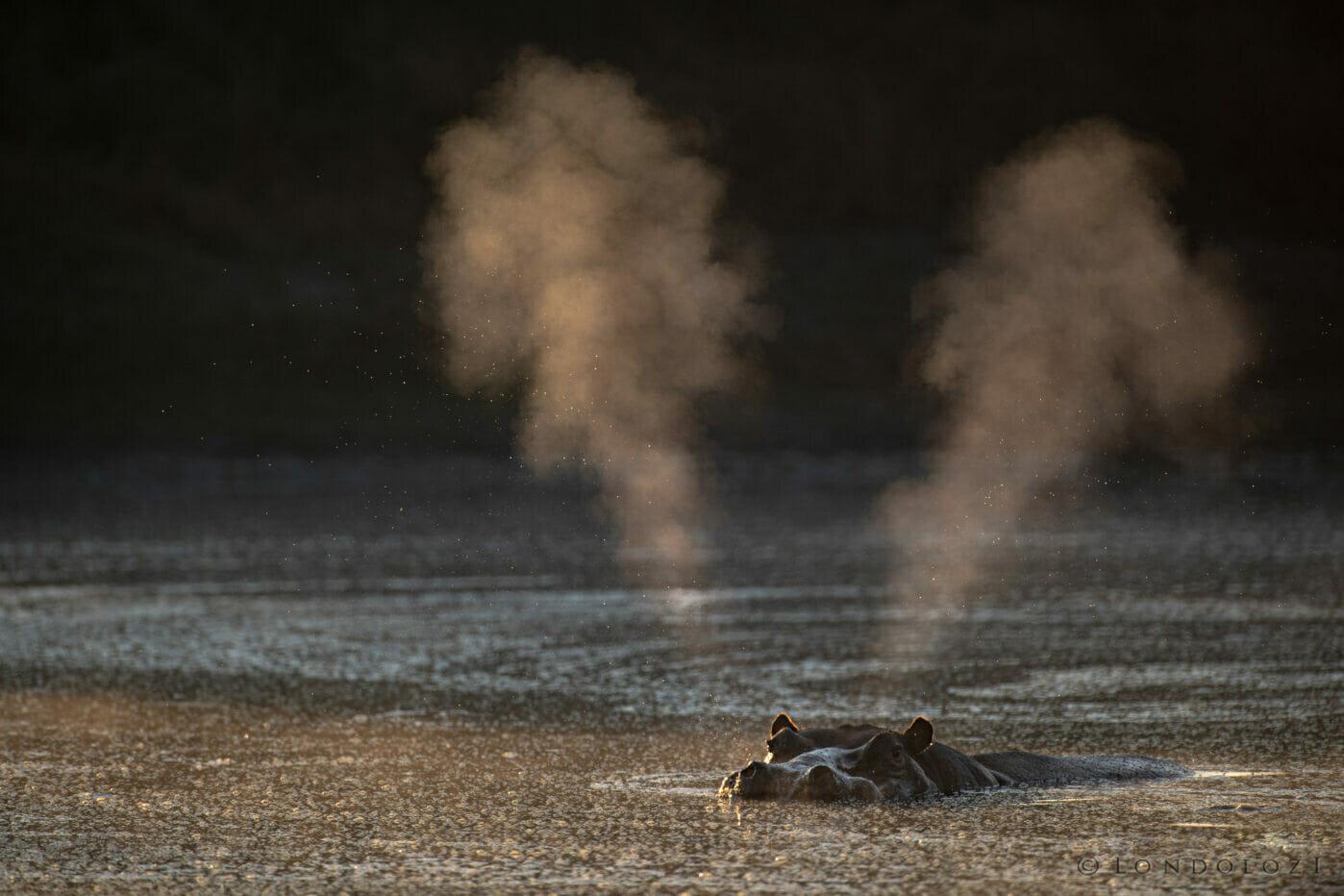 Jts Hippo Snort Golden Light 7745