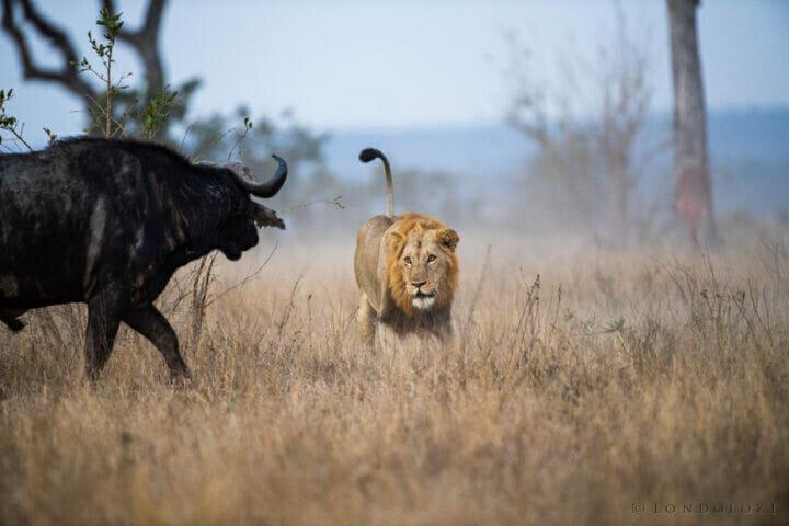 Jts Lion Buffalo Interaction