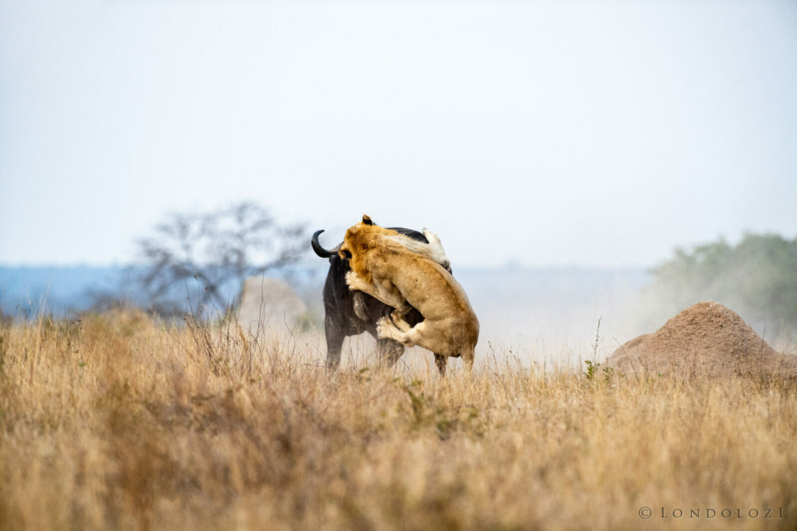 Jts Lion Jumping On Buffalo