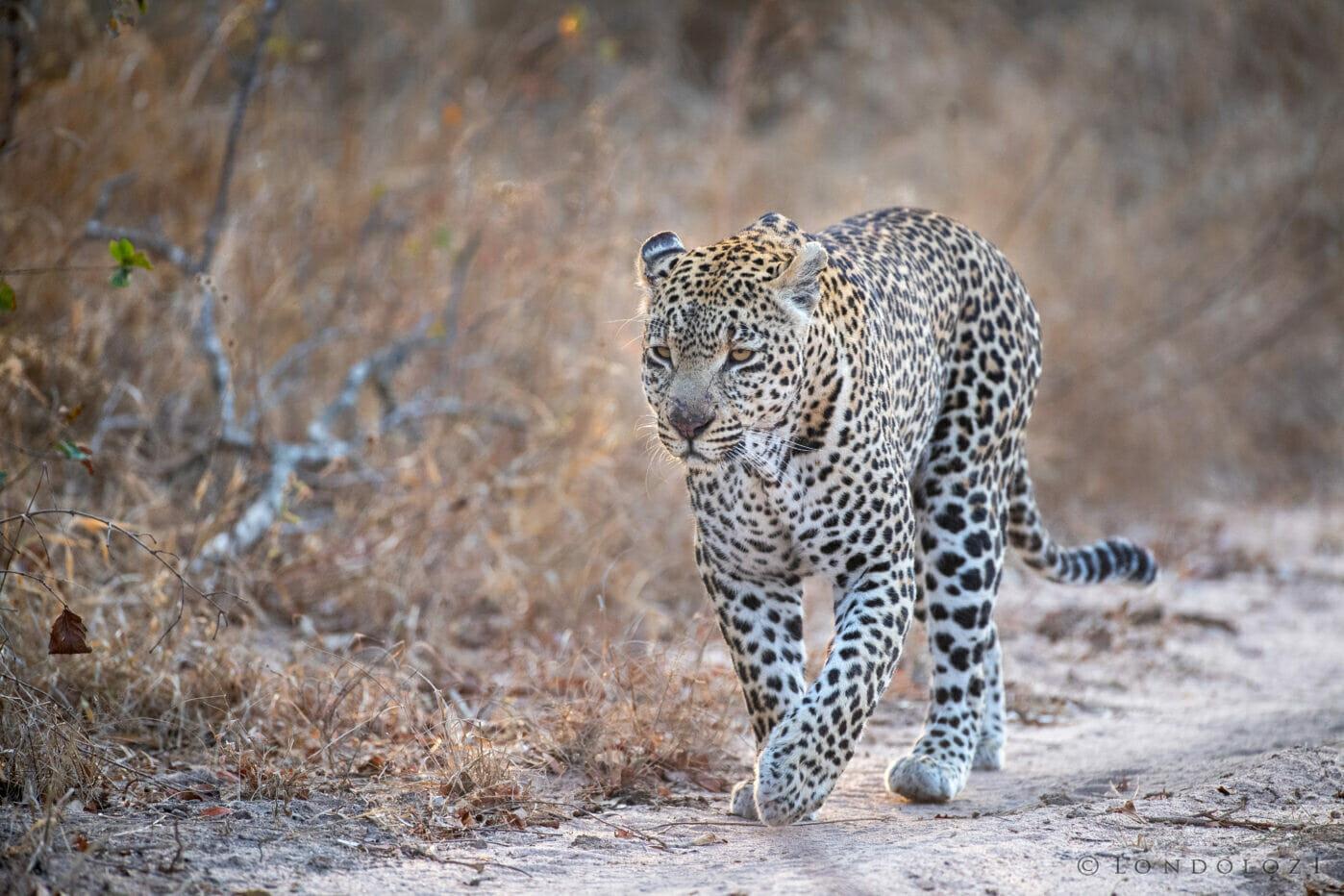 Jts Ntsumi Female Leopard