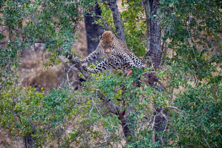 Jts Nweti Male Splits In Tree