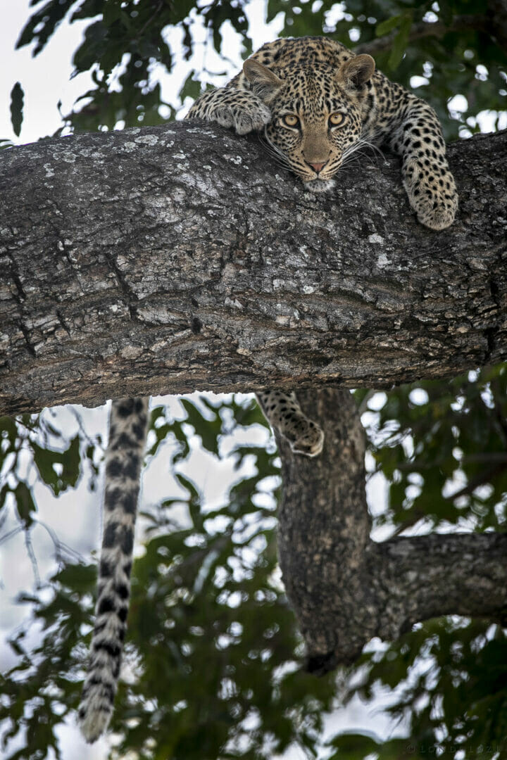 Sdz Piccadilly Young Female Leopard Portrait Tail Hanging