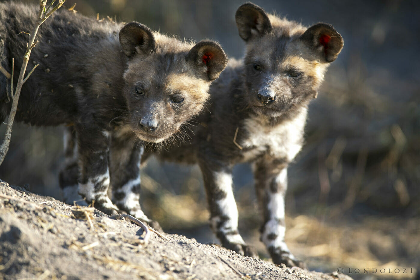 Sdz wild dog pups at entrance to den