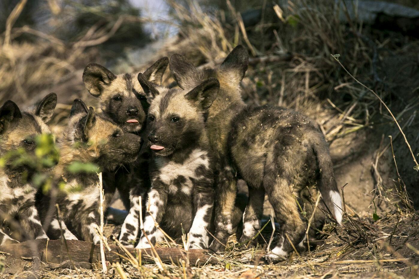 Sdz wild dog pups tongue
