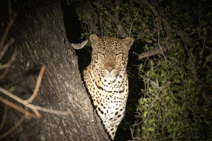 PG Maxims Male Leopard in tree night