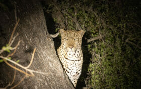 PG Maxims Male Leopard in tree night squint