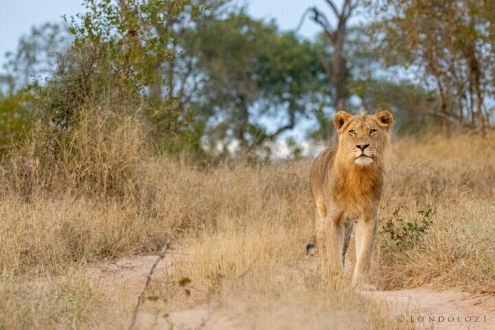 Ct Ntsevu Young Male Lion