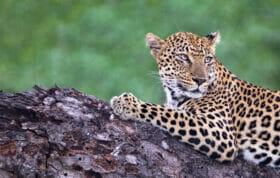 Ct Ximungwe Female Leopard