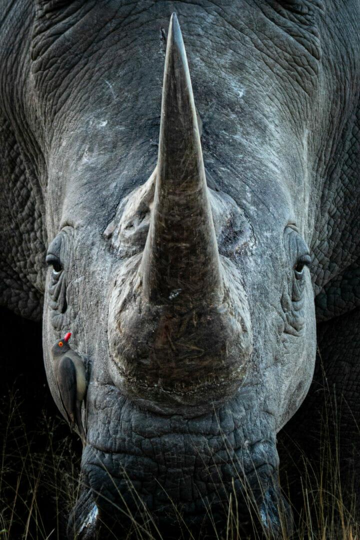 CT Rhino Bull Close Up Oxpecker