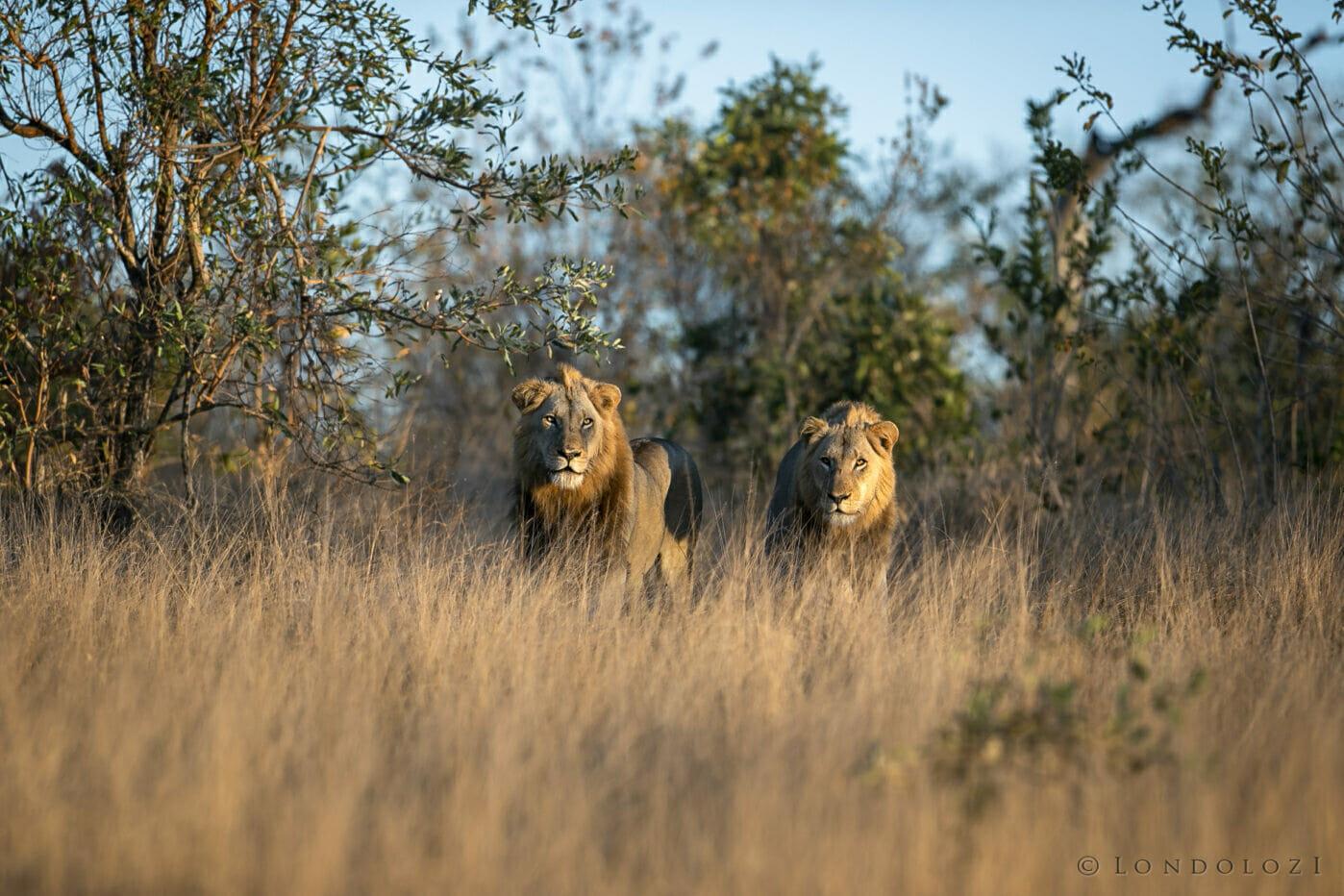 Sdz Plains Camp Male Lion golden light approach