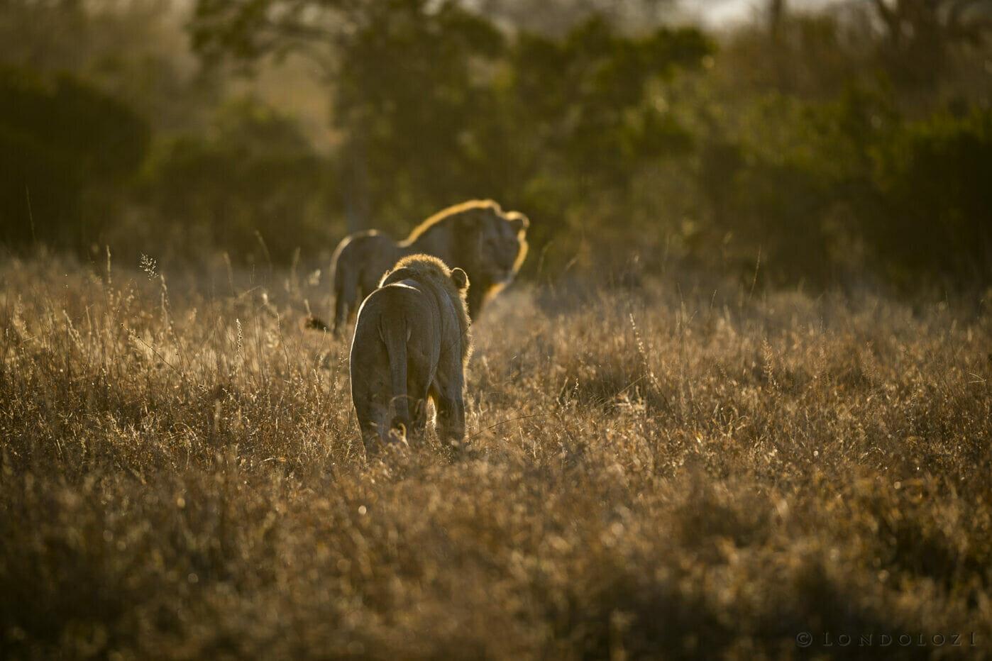 Sdz Plains Camp Male Lion backlit golden light