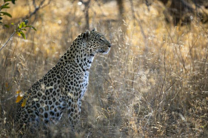 Sdz Ximungwe Female Leopard side profile