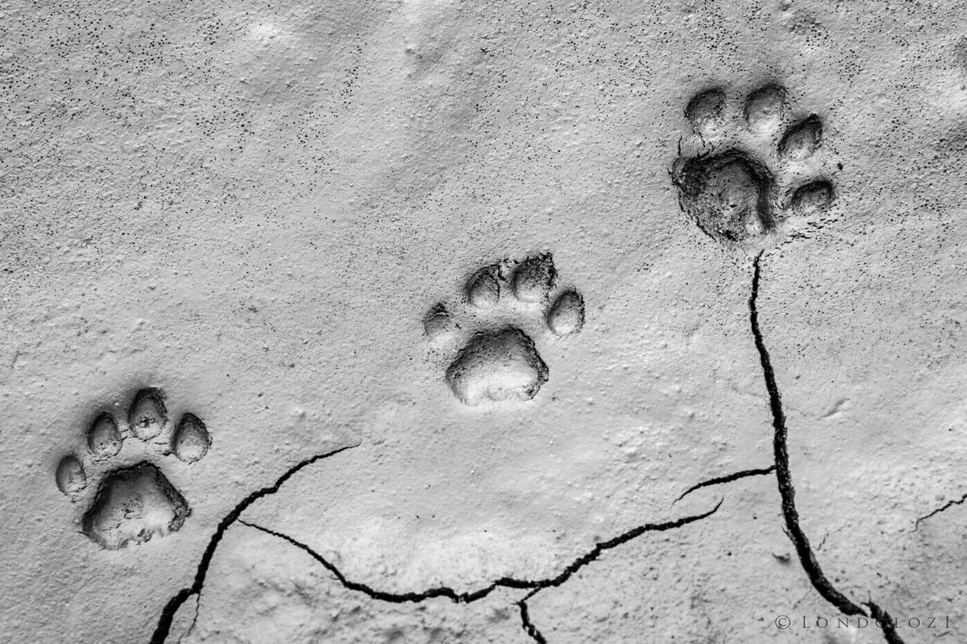 Lion Tracks Paul Dankwerts