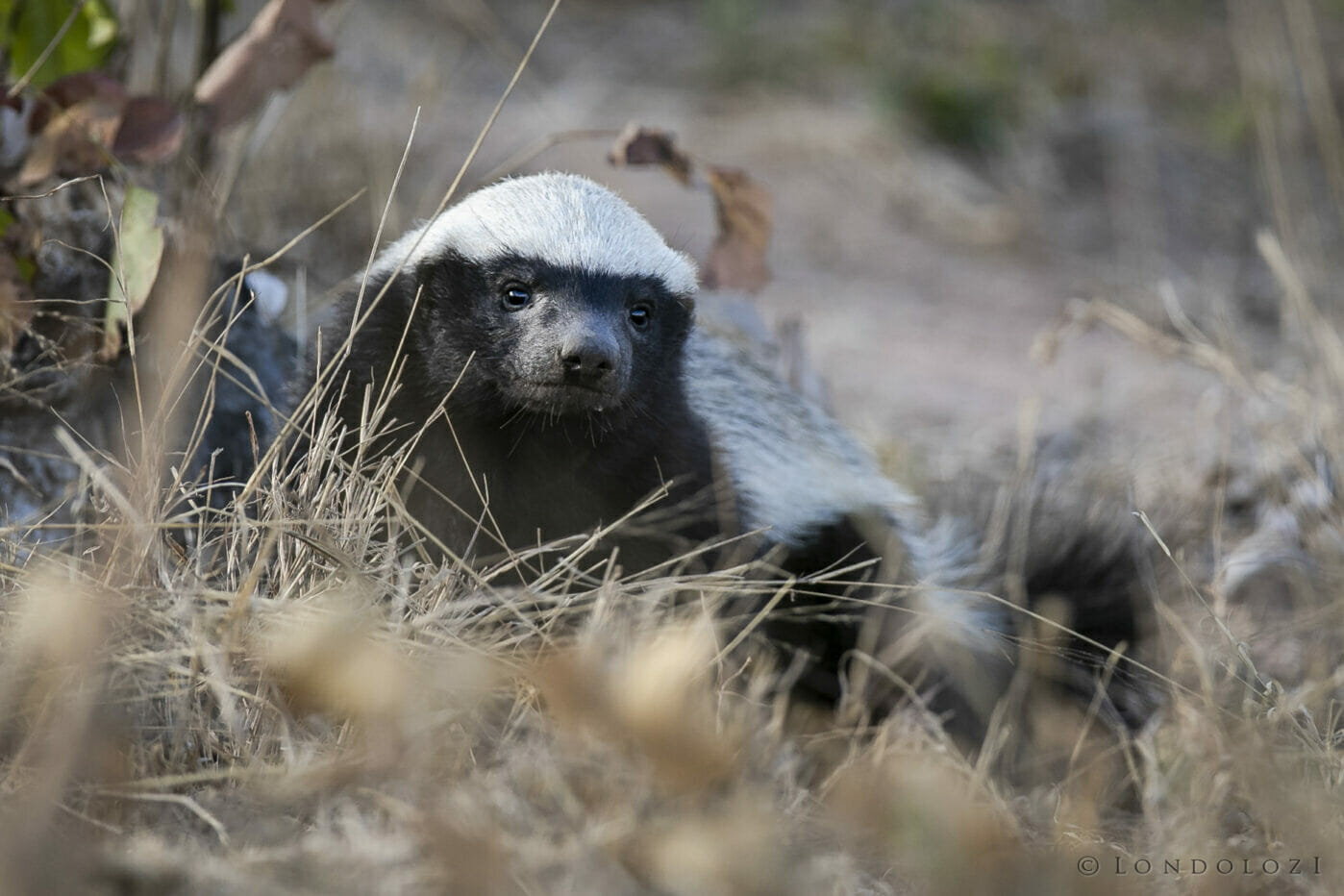 Sdz Honey Badger daytime